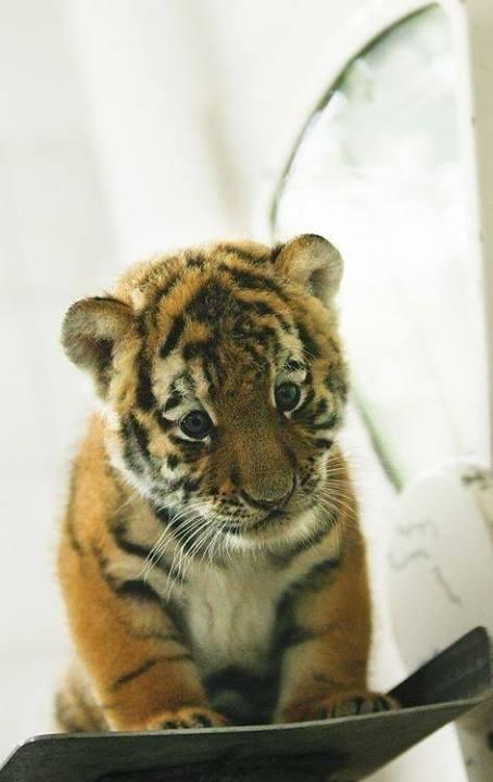 tigru